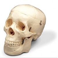 Apex  Human Skull Anatomy Model for Medical Students